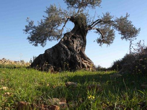 On dit que l'olivier pense