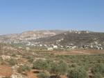 Oliviers de Palestine