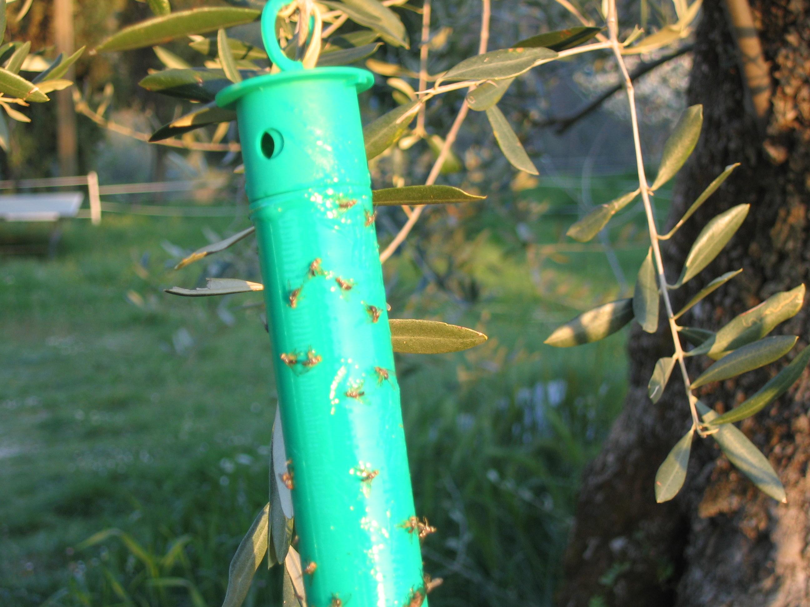 Mouche de l olivier ol iculture biologique - Insecticide mouche de l olive ...